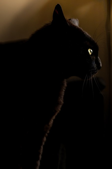 panther-cat-free-license-cc0-980x1471